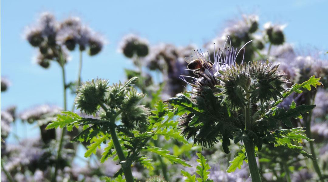 Phacelia, bijenbrood, bijenvoer