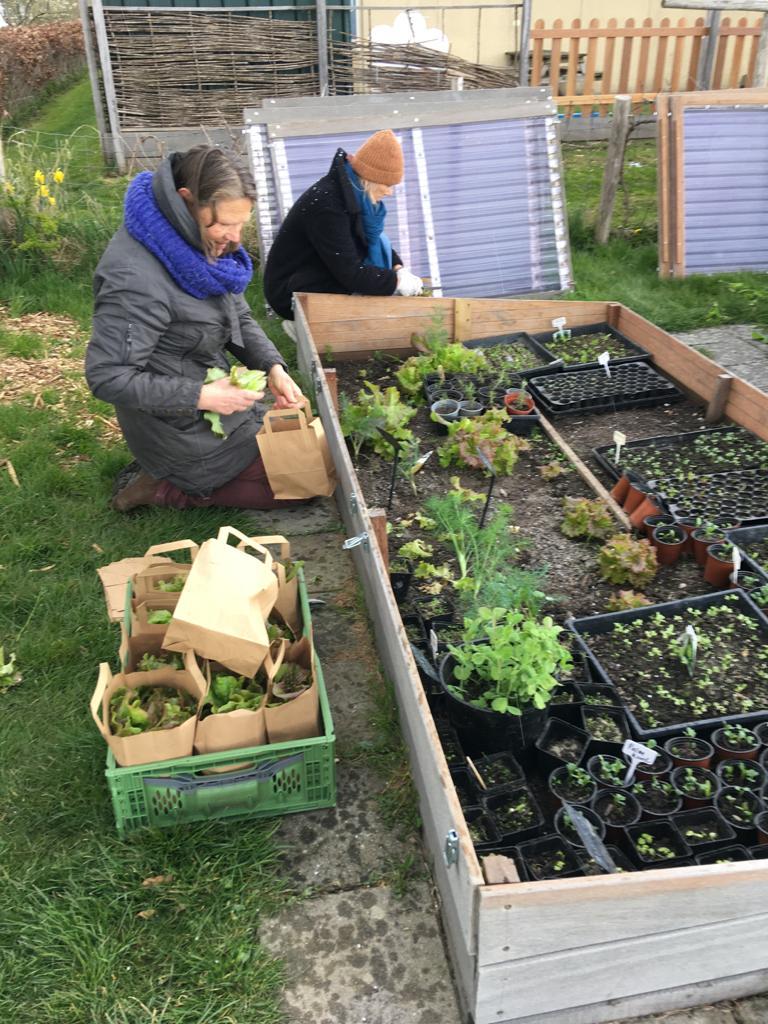 Spinazie eerste oogst voedselbank